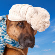 Stock Photo: Germshephard dog wearing hat and scarf