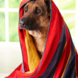 Dog in towel — Stock Photo