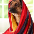 Stock Photo: Dog in towel