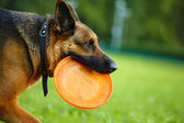 Dog with flying disc — Stock Photo