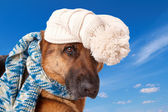 German shephard dog wearing hat and scarf — Stock Photo