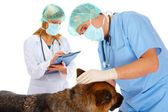 Two vets examining dog — Stock Photo