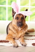 Easter bunny dog — Stock Photo