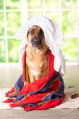 Dog in towel — Stockfoto