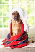 Pies w ręcznik — Zdjęcie stockowe