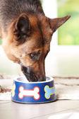 Köpek kaseden yemek — Stok fotoğraf