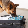 Stock Photo: Sniffing dog chceking luggage