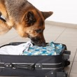Sniffing dog chceking luggage — Stock Photo #9742317