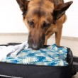 Sniffing dog chceking luggage - Stock Photo