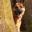 German Shepherd - Stockfoto