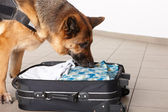 Sniffing dog chceking luggage — Stock Photo