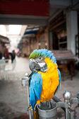 Parrot — Stok fotoğraf