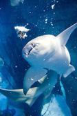 Underwater panorama,Shark — Stock Photo