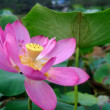 Lotus of rain — Stock Photo #9922154