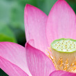 Lotus in full bloom. — Stock Photo #9922205