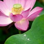 Lotus in full bloom. — Stock Photo