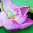 Lotus in full bloom. — Stock Photo