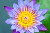 Blue lotus, — Stock Photo