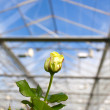 Closeup of a yellow rose inside a greenhouse - Stock Photo