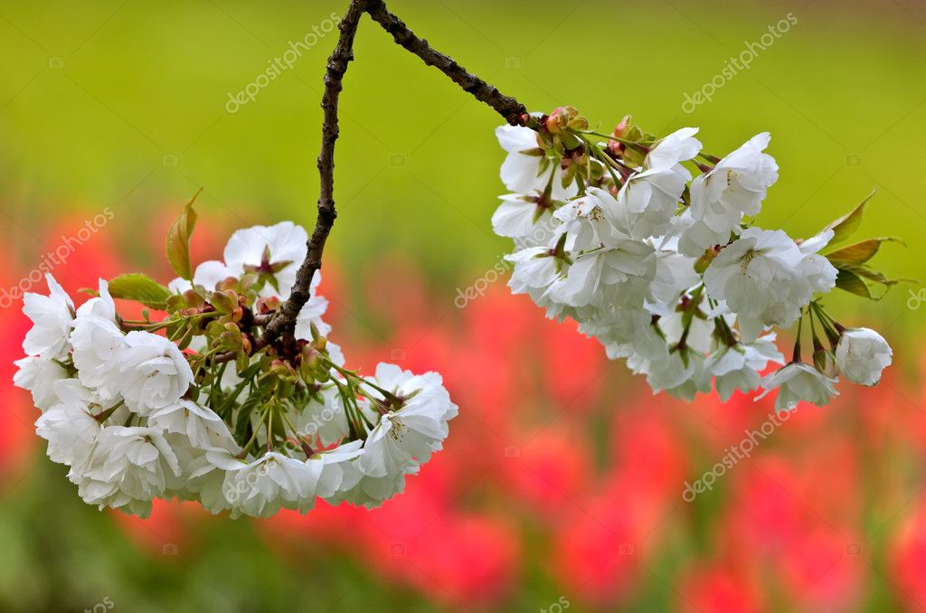 Closeup of white apple blossom with a field of red tulips in the background — Stock Photo #10454901