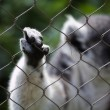 Lemur behind the railings — Stock Photo