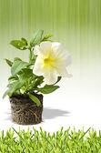 Petunia flower poster — Stock Photo