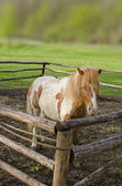 Little horse — Stock Photo