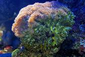 Coral Dendrophyllia — Stock Photo