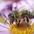 Honeybee — Stock Photo