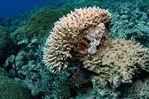 Increíble el rascacio o escorpina escondido en un gran coral — Foto de Stock