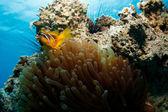 удивительные & anemone рыба-клоун — Стоковое фото