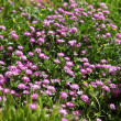 Wild Purple flowers in field — Stock Photo