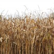 Stock Photo: Autumn corn field