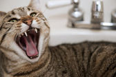 Angry cat in the sink — Stock Photo