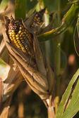 Ear of corn on stalk — Stock Photo