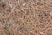 Pine Needles — Stock Photo
