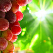 Bunch of grapes — Stock Photo #10074092