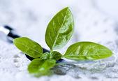 Fresh basil leaves on the fork — Stock Photo