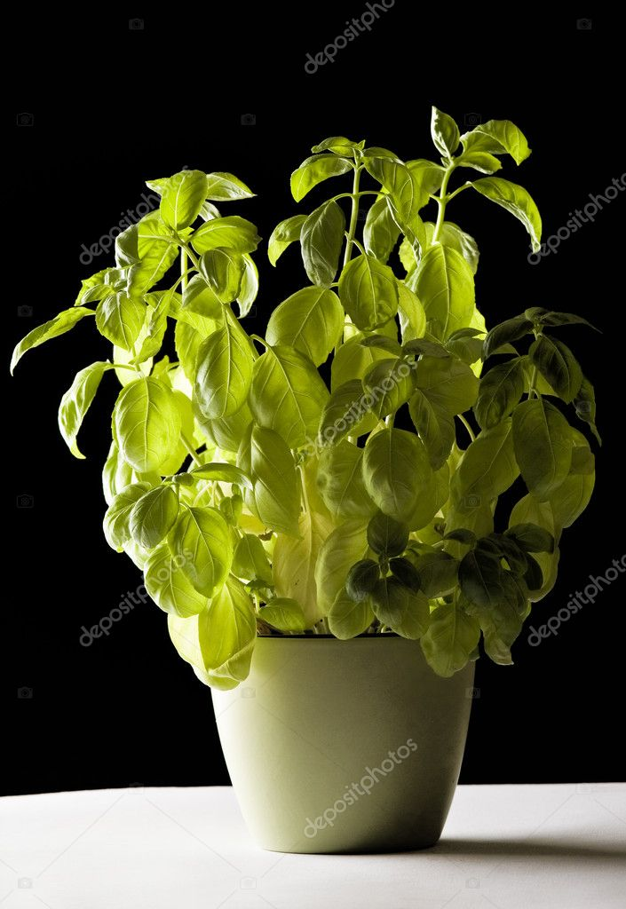 basilikum pflanze im topf stockfoto 9747470. Black Bedroom Furniture Sets. Home Design Ideas