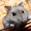Stock Photo: Small hamster