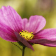 Stock Photo: Cosmea