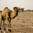 Brown camel — Stock Photo