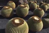 Close-up on circle shape cactuses Echinocactus — Stock Photo