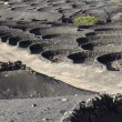 Plants are growing in volcanic lapilli , Lanzarote. — Stock Photo #9830536
