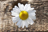 Chamomile close-up — Stock Photo