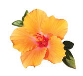 Orange hibiskus flower under sunlight — Stock Photo