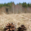 Two pine cones on dry yellow grass — Stock Photo