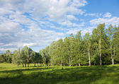 Summer birch grove edge — Stock Photo