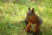 Squirrel with nut — Stock Photo