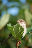 Proud sparrow — Stock Photo